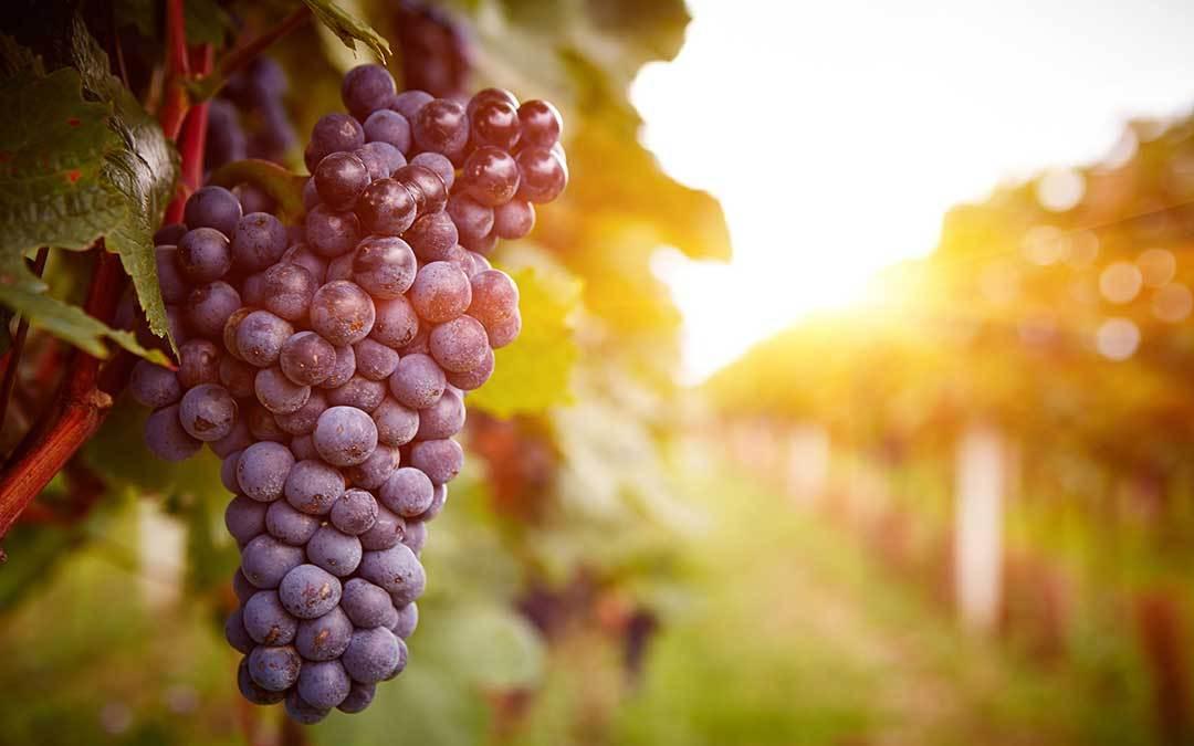 Cannonau: storia del vitigno più diffuso in Sardegna