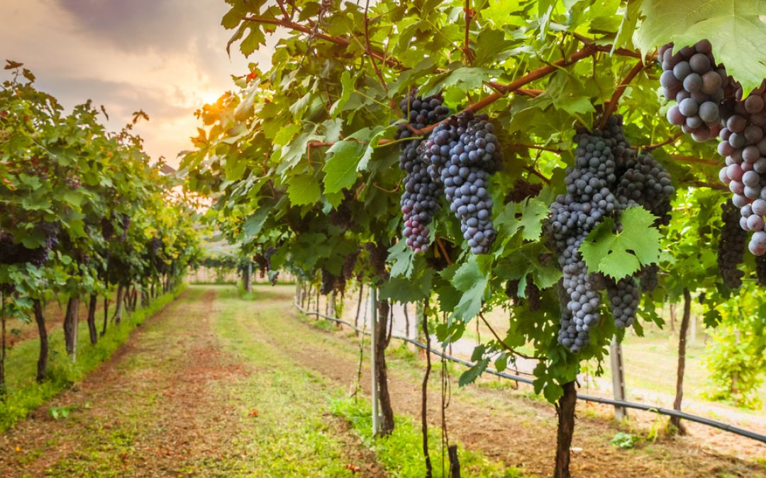 Quanta uva produce una vite?