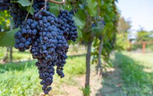 come conservare l uva