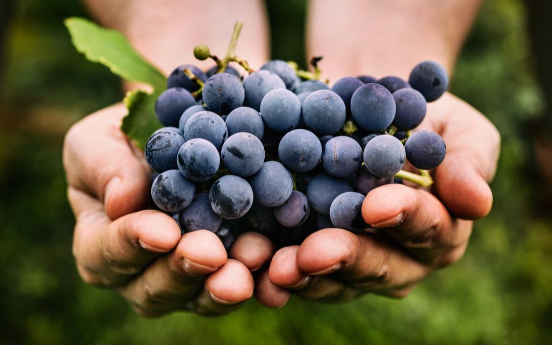 come pigiare l uva
